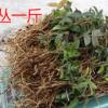 磐安石秀 铁皮石斛 枫斗幼苗 一年以上 驯化苗 适用仿野生栽培