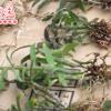 磐安石秀 铁皮石斛 枫斗幼苗 一年以上 驯化苗 仿野生栽培