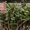 磐安石秀 正宗铁皮石斛 鲜条 仿野生 树栽 品质保证 250克装