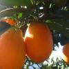 秭归巴东长虹纽荷尔脐橙新鲜橙子一件代发微商专供量大从优大24个