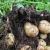 恩施巴东硒土豆本地老品种土豆黄心土豆富硒土豆马铃薯小土豆马尔