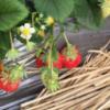 草莓基地供应优质草莓 新鲜水果 有机食品 大量批发