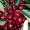 水果大樱桃批发 新鲜水果 有机食品 浓甜爽口超大 大量批发