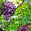 产地直销新鲜葡萄 新鲜水果 有机食品 大量批发