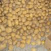 供应绿色农产品蔬菜 土豆 新鲜出口级马铃薯 现货批发编织袋土豆