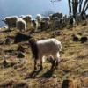 半野山土特产现货供应新鲜生态散养放养牦牛正腿72元一斤