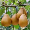 正宗苍溪雪梨 原生态生鲜梨 新鲜水果雪梨 产地现摘现发 10斤箱