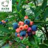 四川 夏季水果天然新鲜蓝莓鲜果头茬大果现摘现发基地直供批发