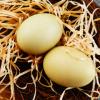 农家散养土鸡蛋 生态茶树散养鸡蛋 批发 农场直销 量大从优 包邮
