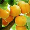 杏子水果 地道李广杏农家现摘现发 新鲜应季水果甜杏