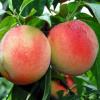 陕西水蜜桃10斤包邮 非油桃毛桃桃子 新鲜水蜜桃新鲜水果一件代发
