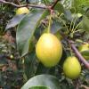 陕西红香酥梨梨子新鲜香梨产地直供非库尔勒香梨一件代发10斤包邮