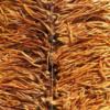 内蒙虫草花批发 正品金虫草子实体 原产地孢子头虫草菌3kg起批发