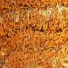 虫草花孢子头 产地批发无熏硫干虫草花 金虫草孢头草一手货源