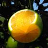 果树果苗 湖南新品种果树苗 橙子苗 绿水晶橙子树苗 皮薄汁多