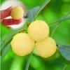 湖南果苗 果树种苗 大果型白杨梅品种 水晶杨梅树苗 白沙杨梅苗