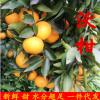 果苗批发 适合盆栽果树 橙树新品种之【塔罗科血橙苗】果树苗木