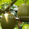 预售蒲农源 蒲江红心红阳猕猴桃奇异果 新鲜水果 一件代发