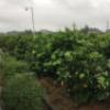 柠檬新鲜水果黄柠檬皮薄多汁一级润宁安岳尤力克香水青厂家批发