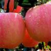 正宗礼县苹果 红富士 产地直销 10斤装 新鲜水果一件代发 包邮