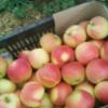 山东美国八号苹果价格 【上市中】农户直销 批发优质美八苹果