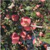 新鲜红富士苹果10斤中果现摘现发红富士 山东烟台红富士苹果