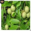 基地直销香玲核桃树 1-3公分大量出售根系发达品种齐全 核桃树品
