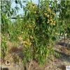 嫁接冬枣树苗 基地直发0.8-5公分枣苗品种齐全 哪里有卖沾化冬枣