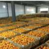 新鲜橙子 榨汁水果 现摘现发新鲜水果 当季现摘 5斤特价赣南脐橙